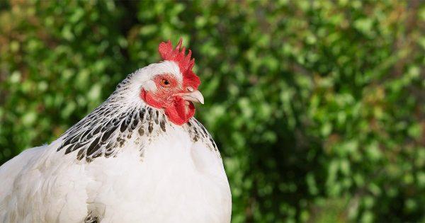 Assault With A Dead Chicken